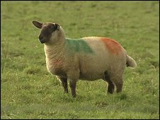 _46663790_sheepfive